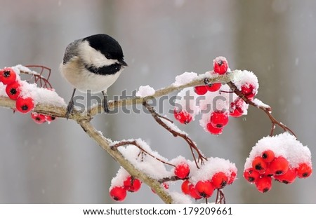 A winter Black- capped Chickadee (Poecile atricapillus) on a snowy hawthorn branch full of bright red berries. - stock photo