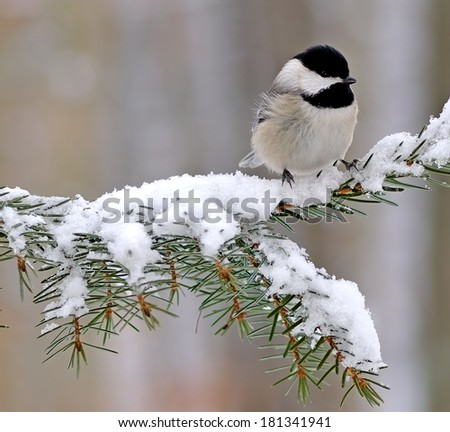 A winter Black- capped Chickadee (Poecile atricapillus) on a snowy spruce bough. - stock photo