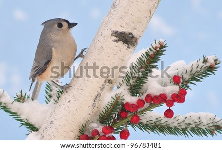A winter Tufted Titmouse (Baeolophus bicolor)  at festive birch and spruce branches. - stock photo