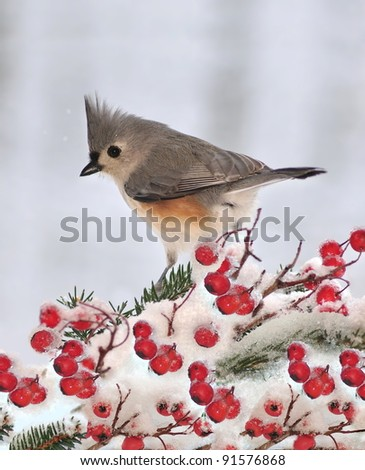 A winter Tufted Titmouse (Baeolophus bicolor) on a snowy branch laden with bright red hawthorn berries. - stock photo