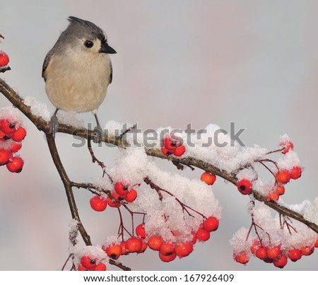 A winter Tufted Titmouse (Baeolophus bicolor) on a snowy hawthorn branch full of bright red berries. - stock photo