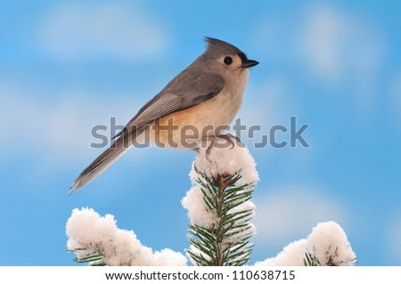 A winter Tufted Titmouse (Baeolophus bicolor) on a snowy spruce tree with blue sky in the background. - stock photo
