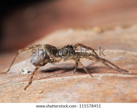 A wolf spider carrying an egg