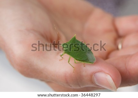 A woman holds a spined green stink bug in the Family Pentatomidae, scientific name - Loxa flavicollis.