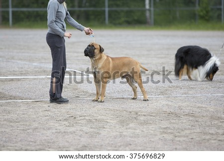 A woman is training a dog in the park. Another dog is in the background. The dog breed is a boxer. Image taken on a cloudy summer day. - stock photo