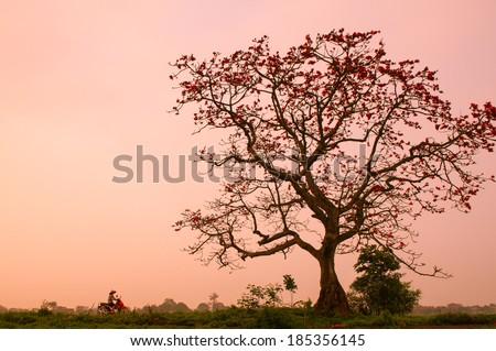 A woman rides motorbike near bombax ceiba tree with full of flowers - stock photo