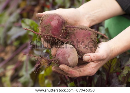 A woman's hands holding freshly picked beets from an organic garden. Shallow focus.