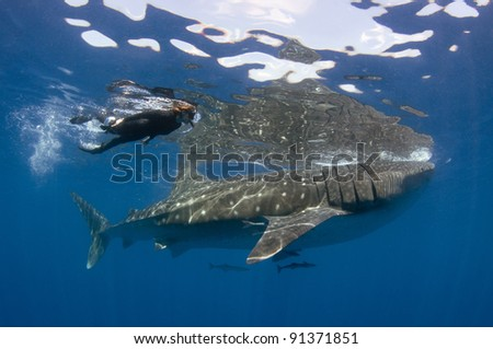 A woman swims along with the world's biggest fish, the whale shark. - stock photo