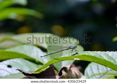 A wonderful and colorful blue dragonfly that is posed in a green leave in between the middle of the trees among a tropical and warm rainforest