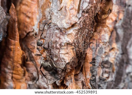a wood ant runs up a tree