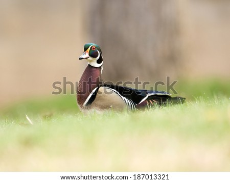 A wood duck walks through the grass near a small pond - stock photo