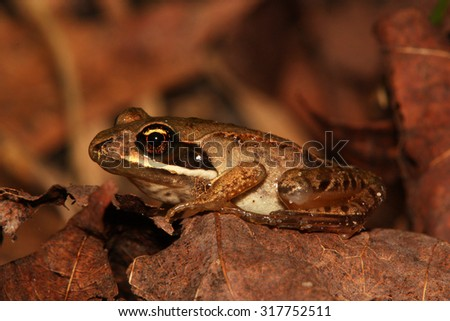 A Wood Frog (Lithobates sylvestris) among the leaf litter on a forest floor in Ontario, Canada. - stock photo