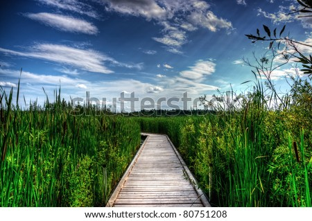 A wooden boardwalk cuts the the tall reeds, grass and cat-tails of an overgrown marsh. - stock photo