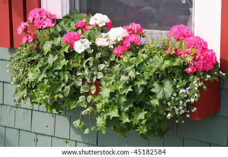 A wooden window box filled with pink and white geraniums, german ivy and vinca. - stock photo