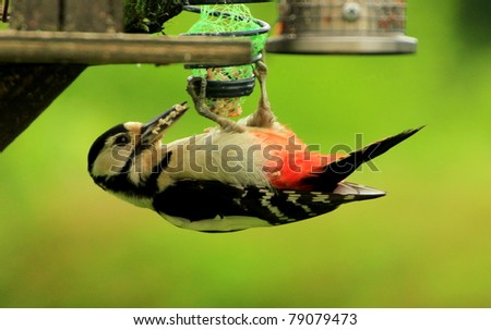 A Woodpecker Feeding - stock photo