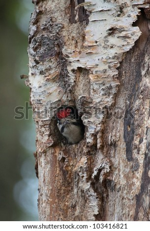 A woodpecker nest in a tree with the chick looking out for food Aigas Scotland