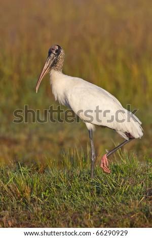 A Woodstork in florida wetland - stock photo