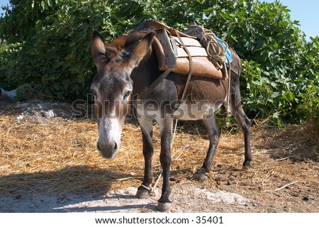 A working donkey on Crete, tied up and wearing a saddle. Taken in 2004.
