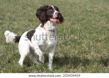 a working type english springer spaniel in a field - stock photo