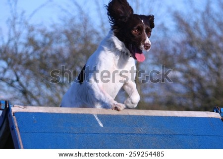 a working type english springer spaniel pet gundog running over an agility a-frame - stock photo