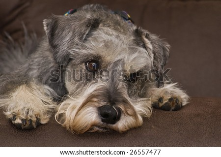A worried miniature schnauzer dog looking away - stock photo
