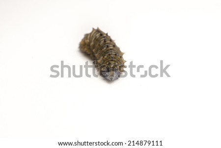 A wrinkled grey and brown Caterpillar  - stock photo