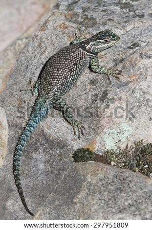 A Yarrow's Spiny Lizard (Sceloporus jarrovii), shot in Madera Canyon, in the Santa Rita Mountains, located in Arizona, United States. - stock photo