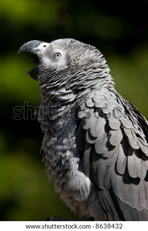 a yawning parrot - stock photo