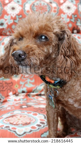 A 14 year old blind poodle dog with cataracts in his eyes.  Dogs like humans can develop cataracts in their eyes, limiting their vision or even causing blindness.  - stock photo