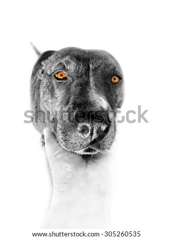 A 3 years old, female American Pit Bull is looking at camera. California, U.S.A - stock photo