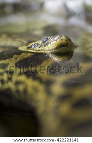A yellow anaconda or Paraguayan anaconda, Eunectes notaeus, in the water. Like all boas and pythons, this snake is non-venomous and kills its prey by constriction - stock photo