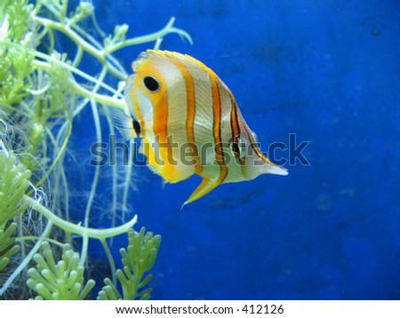 A yellow and white stripy tropical fish