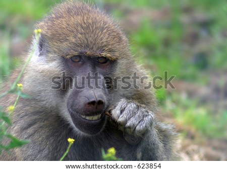A Yellow Baboon cleans its teeth with a twig.