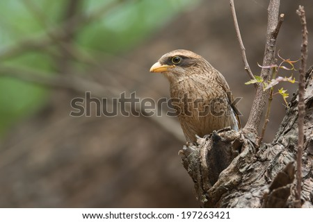 A Yellow-billed shrike (Corvinella corvina) looking out from a perch