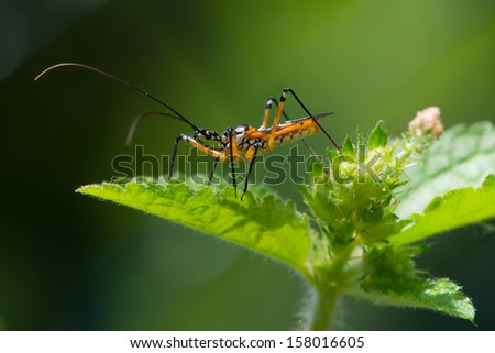 A yellow, black and white Assassin Bug from West Africa waiting for prey on top of a plant
