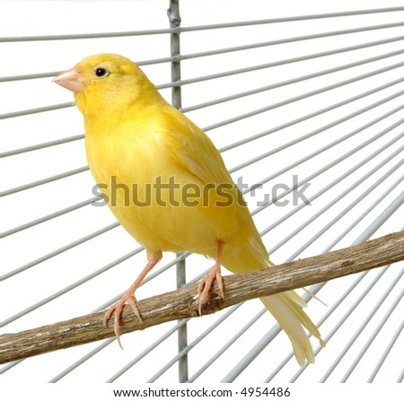 a yellow canary in his cage - stock photo