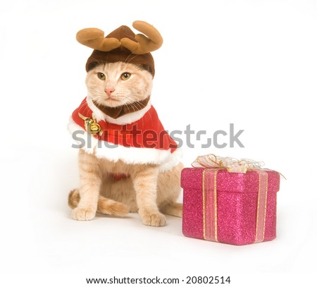 A yellow cat wears a Christmas costume while sitting on a white background - stock photo