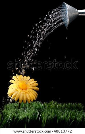 A yellow daisy being watered on black - stock photo