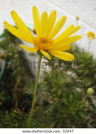 A yellow daisy. Blurred background - stock photo
