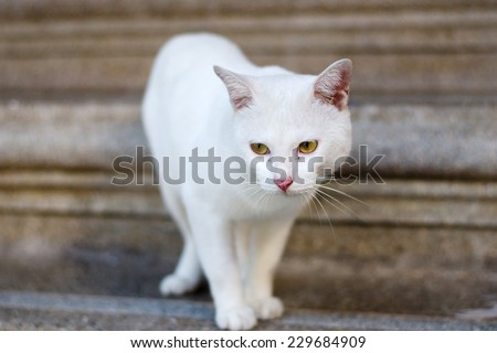 A yellow eye Thai cat focus at the eyes. - stock photo