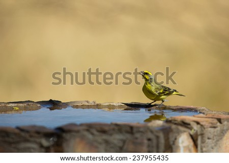 A yellow-eyed canary at a man-made bird bath - stock photo