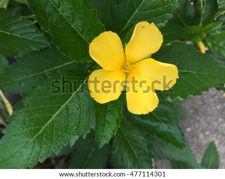 Yellow flower called banechga only bloom stock photo royalty free a yellow flower called banechga only bloom in the morning mightylinksfo