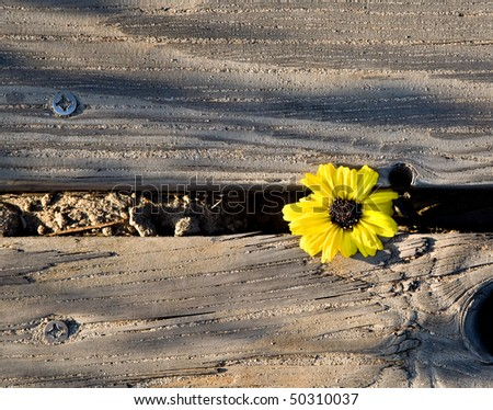 A yellow flowers makes it way through some wooden planks and blooms in spite of its captivity, - stock photo