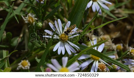 a yellow jacket wasp with it's wings spread out drinking nectar from a white and yellow flower
