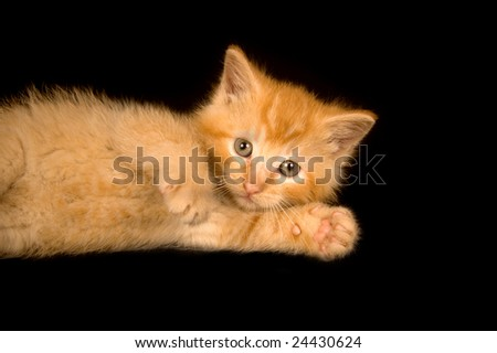 A yellow kitten lays on a black background and plays.