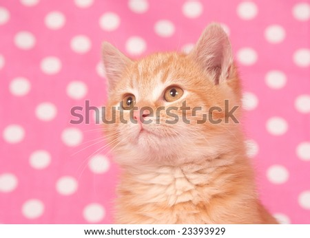 A yellow kitten on a pink polka dot background for valentines day