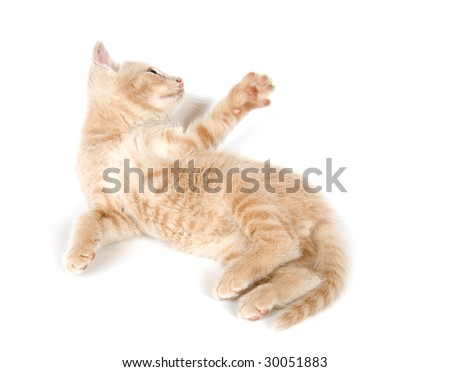 A yellow kitten resting and playing on a white background