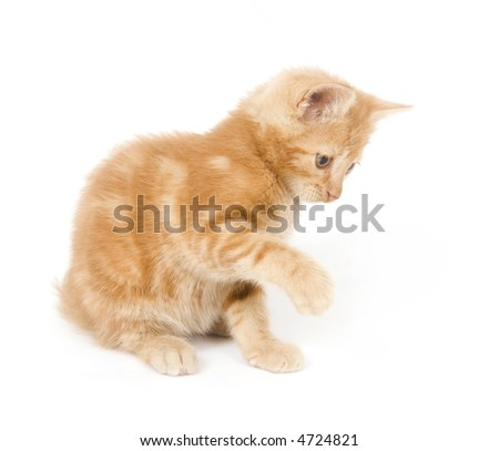 A yellow kitty enjoys play time by swinging its paw and pouncing on a toy (out of frame) on white background