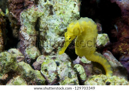 A yellow kuda female sea horse in Philippines - stock photo