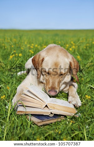 a yellow labrador reading book in the meadow